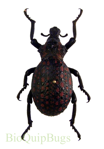 Catalog #131C1125: Brachycerus cornutus (click to close)
