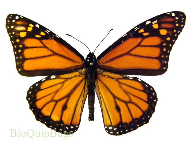 Catalog #18B0003: Danaus plexippus plexippus (click to close)