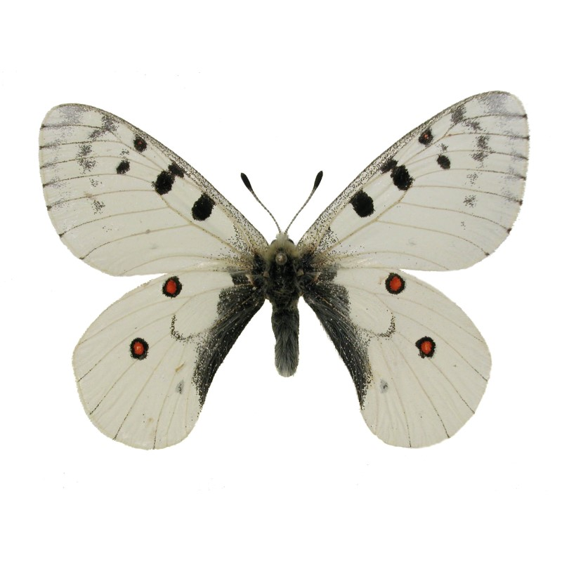 Catalog #1B2023: Parnassius smintheus montanulus (Upperside) (click to close)