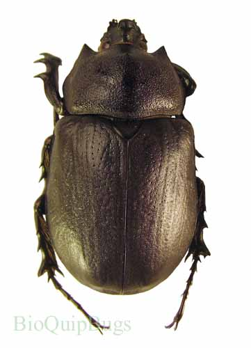 Catalog #1C0009M: Megasoma punctulatus (click to close)