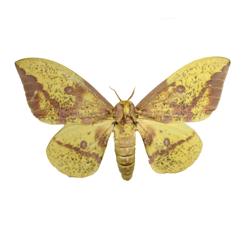 Catalog #2H0135M: Eacles imperialis imperialis (Upperside) (click to close)